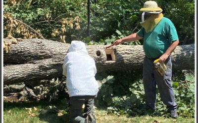 Wild Honeybee Hive saved after Tropical Storm Isaias